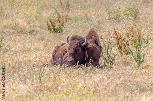 Foto op Canvas Bison Resting Bisons