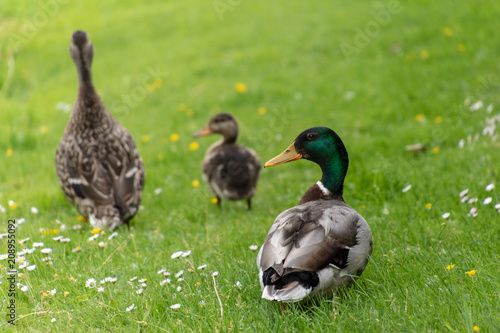 Photo  Duck family walking in a meadow with daisies and buttercups