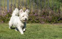 West Highland White Terrier Running In The Green Grass