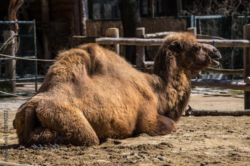 Deurstickers Kameel Kamel - Camelus ferus