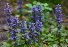 Purple Bugleweed Flower