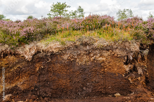Obraz na plátně Cross-section of an Irish peat bog showing heather and plants on top