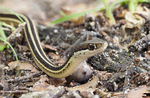 Closeup Focus Stacked Image of an Eastern Ribbon Snake Crawling Past You