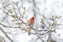 One Male Red House Finch, Haem...