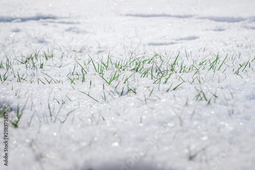Grasspitzen im Schnee Canvas Print