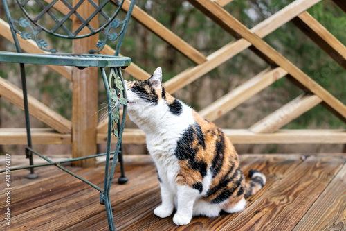 Poster Maroc Calico cat sitting on wooden deck looking on terrace, patio, outdoor garden house on floor sniffing rubbing agaisnt metal chair