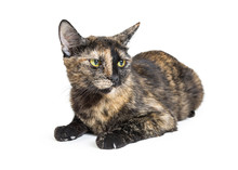 Tortoiseshell Cat With Angry E...