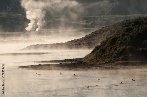 Fotobehang Grijze traf. Canada geese feeding on Yellowstone River; Yellowstone NP; Wyoming