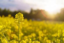 Mustard Field In Summer In Clo...