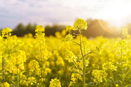 Stampa su Tela Mustard field in summer in cloudy weather