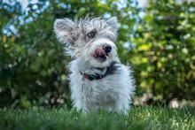 A Young Scruffy Terrier Dog Mi...