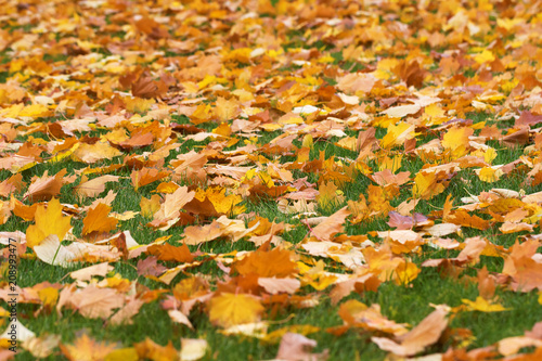 fototapeta na drzwi i meble Autumn yellow maple leaves on green grass