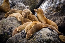 Sea Lions Lying On Barnacles