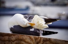 Seagull Preening Feathers