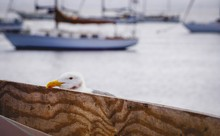Seagull Resting Its Head On A Plank Of Wood
