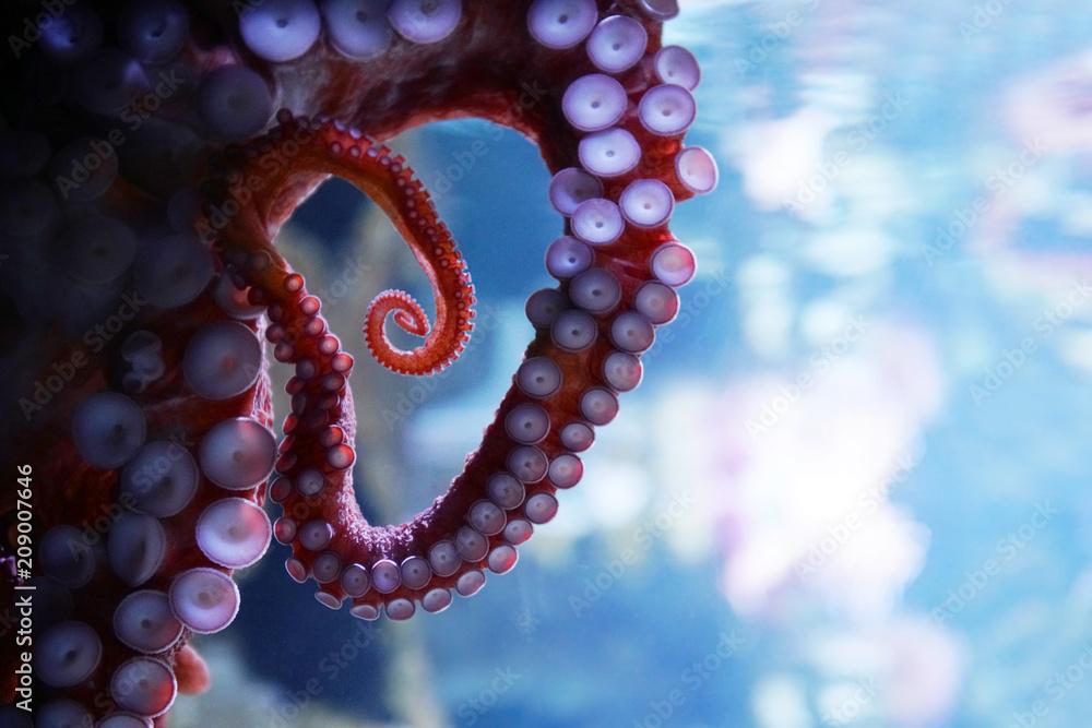 close up on live octopus in the aquarium