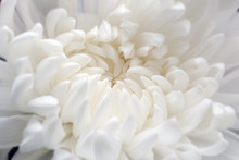 Closeup Of White Chrysant Flower (chrysanthemum) Beautiful White Petals Natural Background.