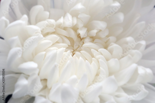 фотографія Closeup of white chrysant flower (chrysanthemum) beautiful white petals natural background