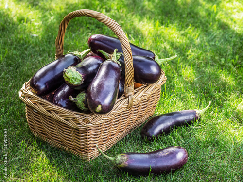 Aubergines or eggplants in wicker basket on the grass.