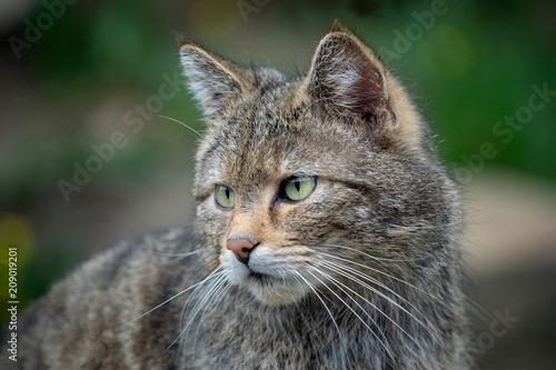 European Wild Cat (Felis silvestris) Poster