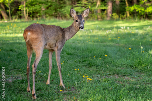 Fotobehang Hert Roe deer in forest, Capreolus capreolus. Wild roe deer in nature.