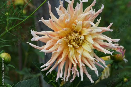 In de dag Dahlia Close-up of a Dahlia flower dahlia cultivar Garden Party growing in the foothills of the Caucasus