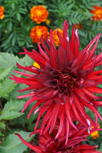 Close-up Of The Dahlia Flower Of The Akita Variety With A Red Inflorescence On The Background Of The Tagetis Growing In The Foothills Of The Caucasus