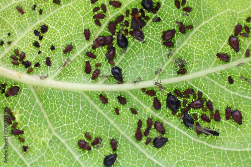 Photo Aphids are a parasitic insect that sucks juice from plants.