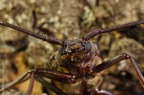 Fotobehang Macrofotografie The head of the beetle barbel