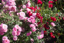 Bushes With Pink And Red Roses