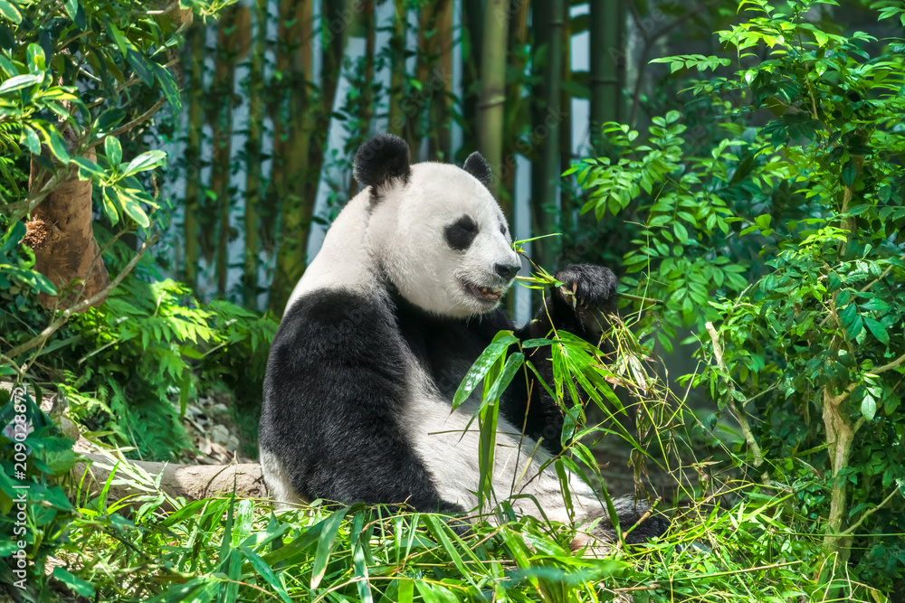 Black and white panda sits on the grass in the forest
