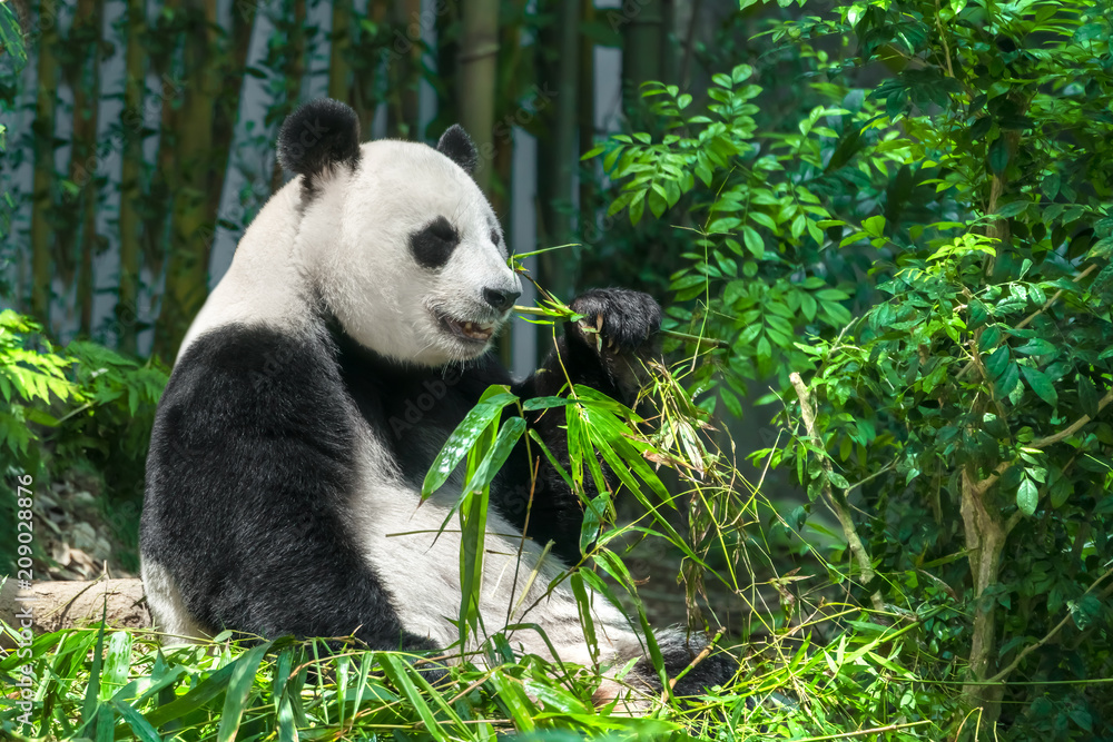 Black and white panda eating bamboo in the forest