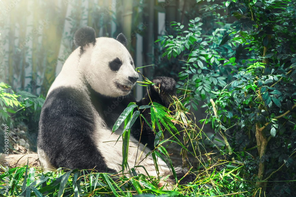 Giant Panda Bear sitting on the forest floor eating bamboo