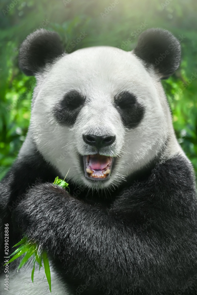 The panda is eating bamboo, close-up