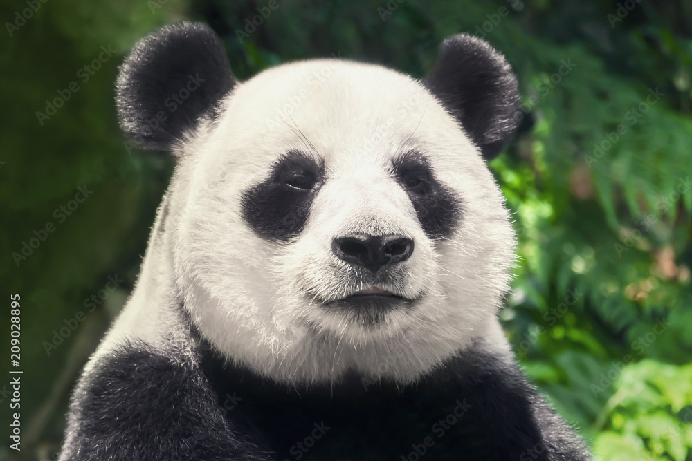 Cute black and white panda, close-up