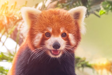 Portrait Of A Red Panda ( Ailurus Fulgens )