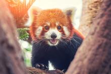 Red Panda, Firefox Or Lesser Panda (Ailurus Fulgens) On The Tree