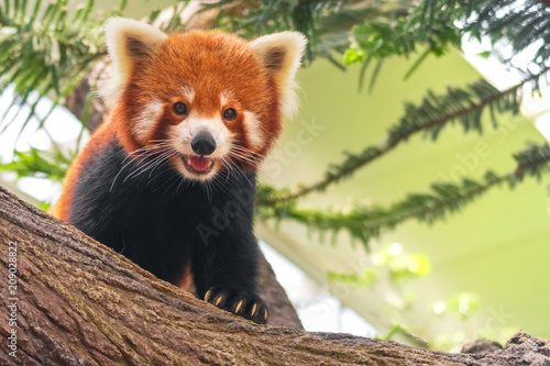 Stickers pour portes Panda Western red panda (Ailurus fulgens fulgens), also known as the Nepalese red panda.