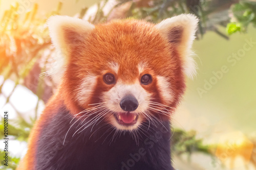 Portrait of a Red Panda ( Ailurus fulgens ) Wallpaper Mural