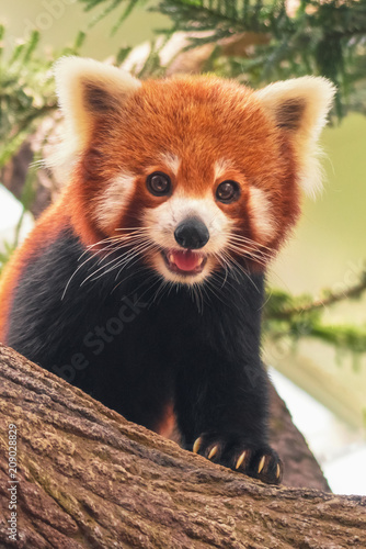 Stickers pour portes Panda Portrait of a Red Panda ( Ailurus fulgens ) on a tree branch