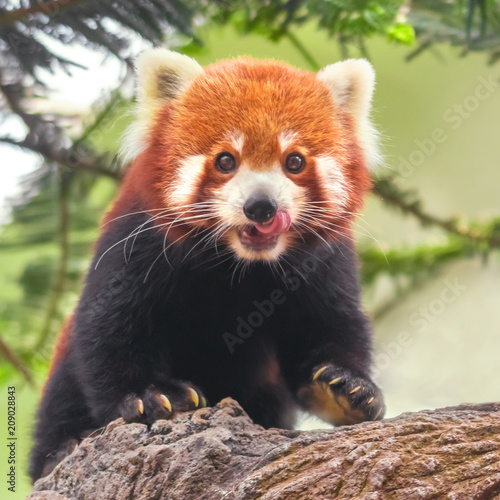 Stickers pour portes Panda Western red panda (Ailurus fulgens fulgens) or Nepalese red panda on the trunk of a tree