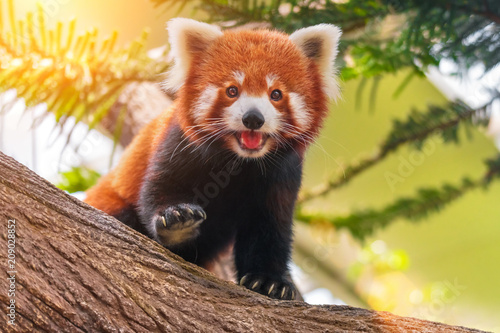 Red panda on a tree on a sunny day Canvas Print