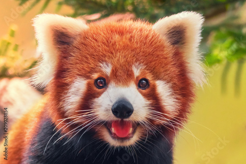 La pose en embrasure Panda Red panda, close-up