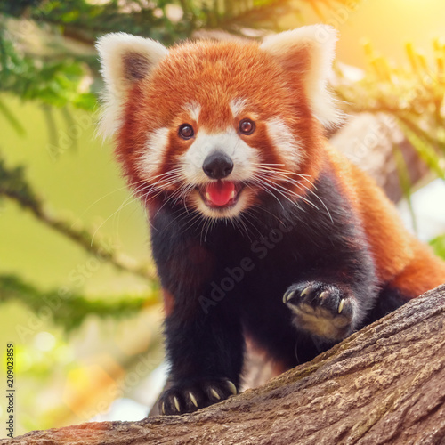 Aluminium Prints Panda Red panda on a branch in the forest on a sunny day