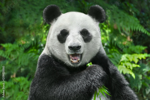 giant panda bear eating bamboo Slika na platnu