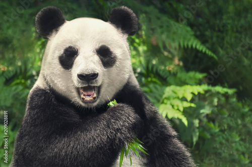 Photo sur Aluminium Panda Chinese giant panda