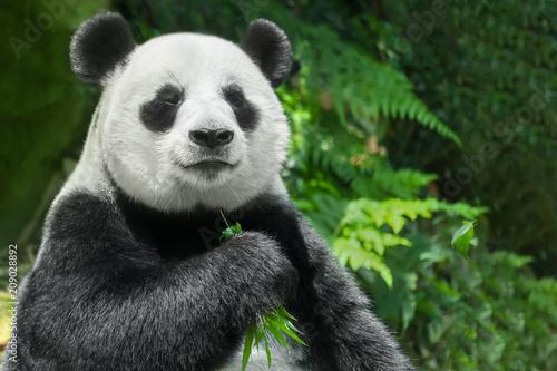 Fototapeta premium Panda wielka (Ailuropoda melanoleuca) lub Panda Bear. Zbliżenie na gigantyczną pandę siedzi i je bambus