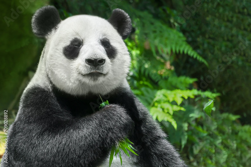 Giant panda (Ailuropoda melanoleuca) or Panda Bear Slika na platnu