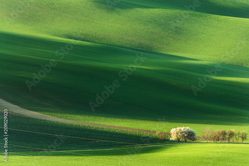 Foto op Plexiglas Pistache Spring rural nature landscape with blossoming flowering trees on green wavy rolling hills. Amazing sunset evening light.