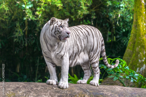 Obraz na plátně  Beautiful white tiger albino with blue eyes standing on a rock